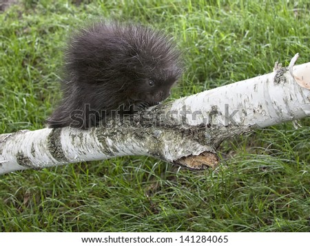 Young porcupine baby climbing on a birch tree limb.  Spring in Wisconsin - stock photo