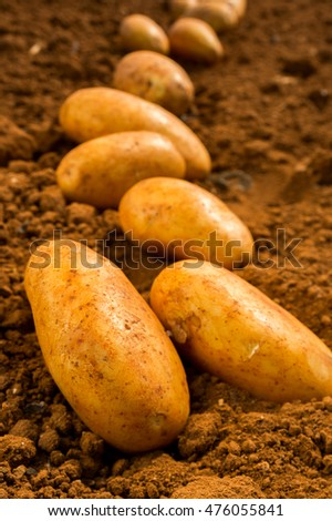 Young potatoes on the land field