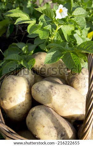 young potatoes on wood basket and leafy tops of root vegetables - stock photo