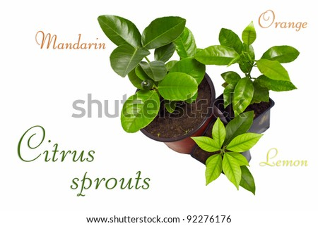 young potted citrus sprouts isolated on white - stock photo