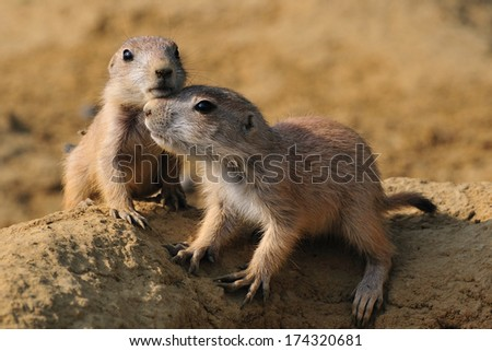 Young Prairie dogs - A pair of juvenile Prairie dogs in close contact - stock photo