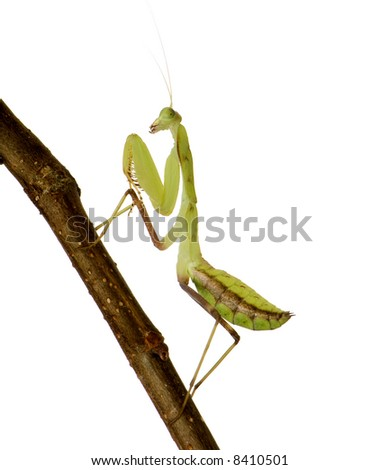 Young  praying mantis - Sphodromantis lineola in front of a white backgroung