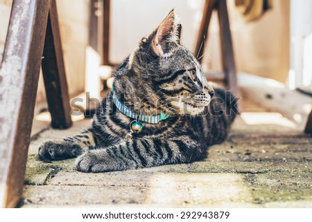 Young pretty striped grey tabby cat wearing a blue collar lying looking back intently over its shoulder as it watches something - stock photo