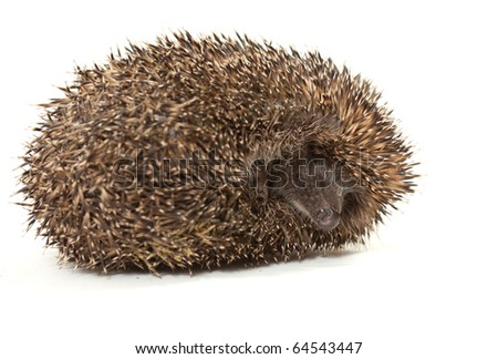young prickly hedgehog in studio, isolated on the white background - stock photo