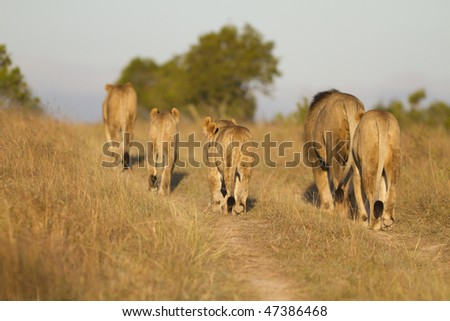 Young pride of lion walk along road - stock photo
