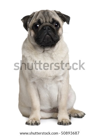 Young Pug, 6 months old, sitting in front of white background - stock photo