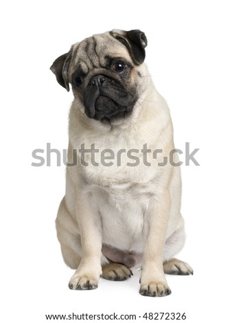 Young Pug puppy, 6 months old, sitting in front of white background