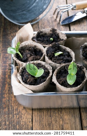 Young pumpkin sprouts in the peat pots on wooden background. Seedling. - stock photo