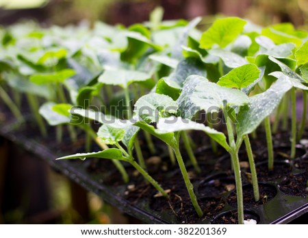 Young pumpkin tree on tray