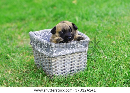 young puppy belgian shepherd malinois in box - stock photo