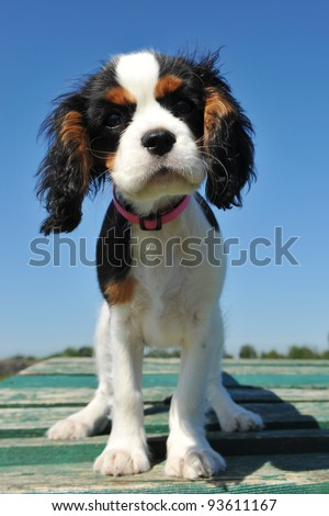young puppy cavalier king charles tricolor upright on a table - stock photo
