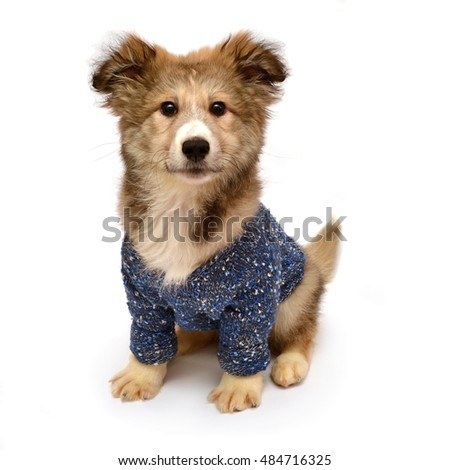 Young puppy dog wearing a fashionable sweater isolated on a white background. Stylish puppy. Flat lay, top view