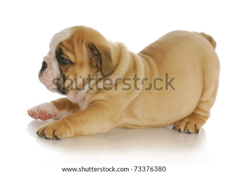 young puppy - english bulldog puppy - 7 weeks old - stock photo