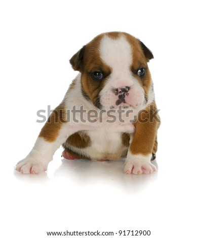 young puppy - four week old english bulldog puppy sitting with reflection on white background - stock photo