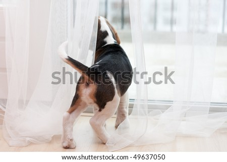 Young puppy of beagle at home. Looking at window - stock photo