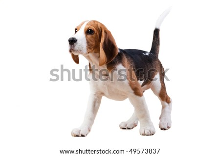 Young puppy of beagle breed. Isolated over white - stock photo
