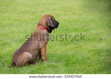 young puppy of Fila Brasileiro (Brazilian Mastiff) outdoor on green grass - stock photo