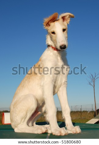 young puppy purebred greyhoung borzoi or russian wolfhound - stock photo