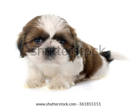 young puppy shitzu in front of white background - stock photo