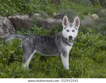 young puppy siberian husky in field - stock photo