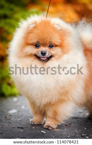 Young puppy Spitz is on the road in the autumn and looks at the camera - stock photo