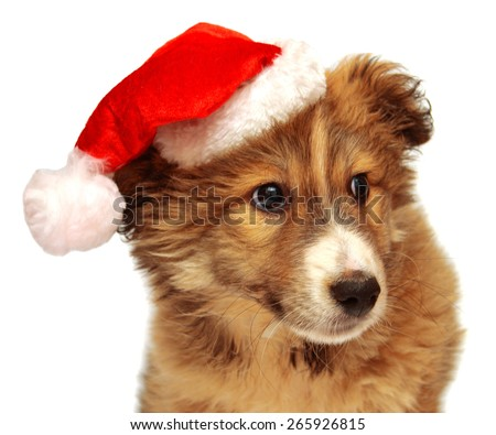 Young puppy with a cap of Santa Claus isolated on white background - stock photo