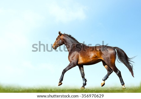 Young purebred bay horse training in summer - stock photo