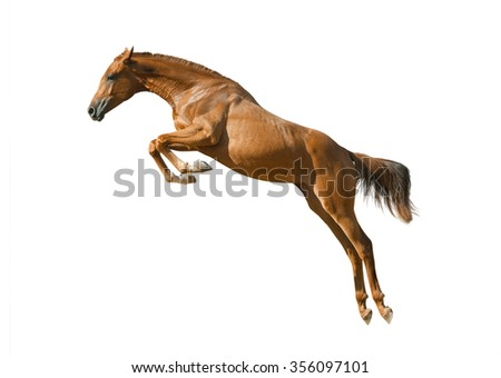 young purebred chestnut horse in jump isolated over a white - stock photo