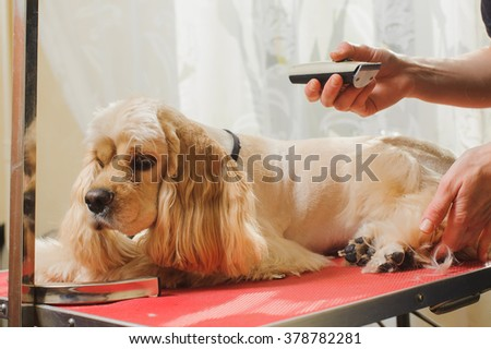 Young purebred Cocker Spaniel is being trimmed by Woman groomer on grooming table for a hairstyle in room.
