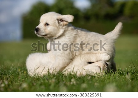 Young purebred golden retriever puppies having a fun time outdoors in the nature on grass meadow on a sunny summer day.