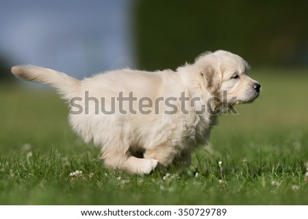 Young purebred golden retriever puppy outdoors in the nature on grass meadow on a sunny summer day.