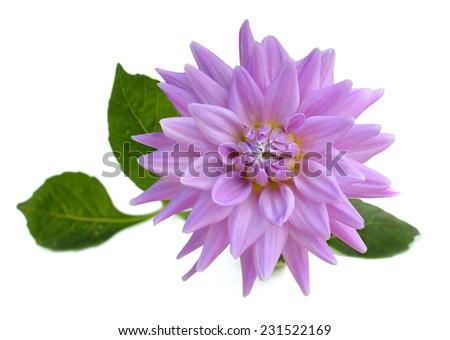 young purple chrysanthemum dahlia isolated on white - stock photo