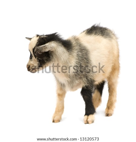 Young Pygmy goat in front of a white background, these photos were taken in Benin, their red coloration comes from the local clay like dust.