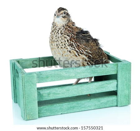 Young quail in wooden box isolated on white
