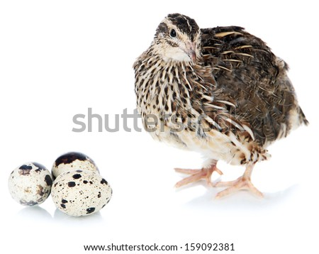 Young quail with eggs isolated on white - stock photo