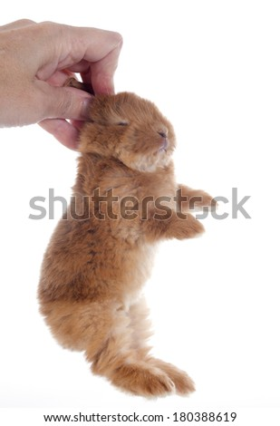 young rabbit fauve de Bourgogne in front of white background