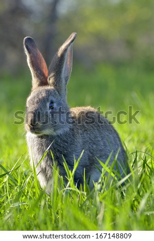 Young rabbit on field  - stock photo