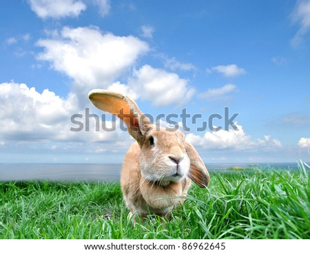 Young rabbit with flying ear on a green meadow with a blue sky background