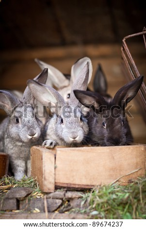 Young rabbits popping out of a hutch (European Rabbit - Oryctolagus cuniculus) - stock photo