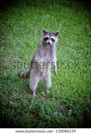 Young raccoon begging for food. - stock photo