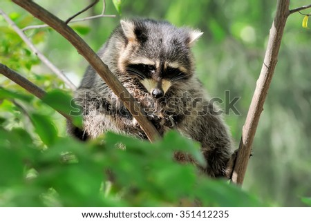 Young raccoon on branch in summer time - stock photo