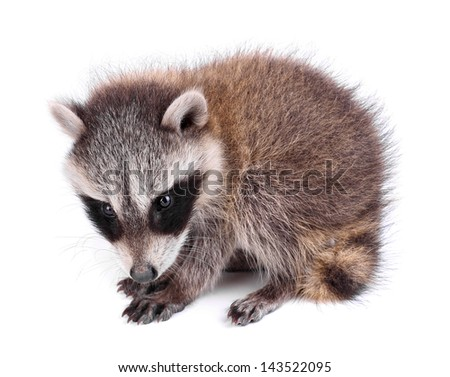 Young raccoon, Procyon lotor, on a white background