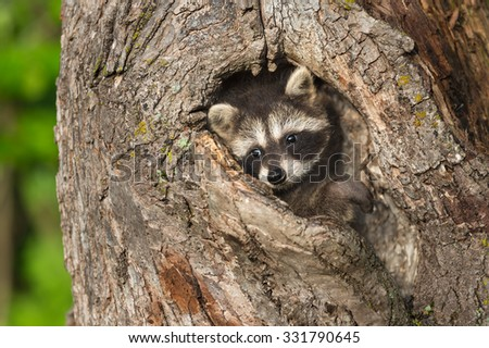 Young Raccoon (Procyon lotor) Turns in Knothole - captive animal