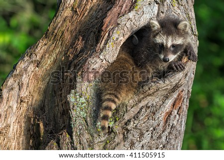 Young Raccoons (Procyon lotor) Squeeze to Fit in Knothole - captive animals