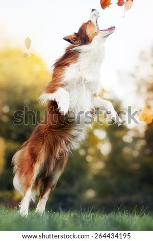 young red border collie dog playing with leaves in autumn - stock photo