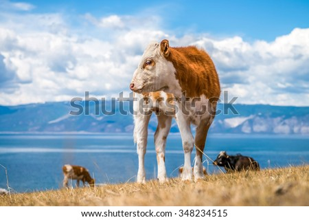 Young red cow with white spots against the sky - stock photo