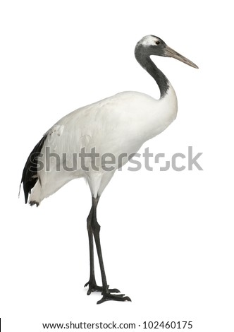 Young Red-crowned Crane, Grus japonensis, also called the Japanese Crane or Manchurian Crane, standing in front of white background - stock photo