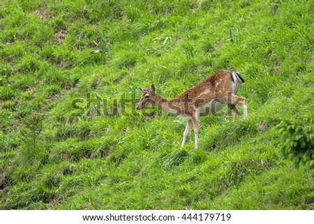Young red deer running down the mountain with green meadow during summer in Austria, Europe