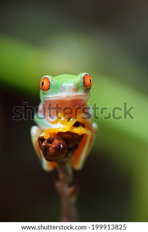 Young red-eye tree frog Agalychnis callidryas in terrarium - stock photo
