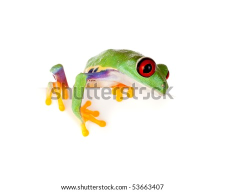 Young red eyed tree frog isolated on a white page - stock photo